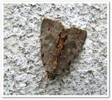 Woody underwing  (Catocala grynea), # 8864