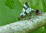 Treehopper (Telamona concava)
