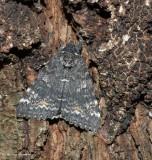 Briseis underwing moth (Catocala briseis)