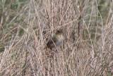 130519 IMG_6198 -a- Saltmarsh Sparrow.jpg