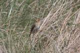 130519 IMG_6195 -b- Nelsons or Saltmarsh.jpg