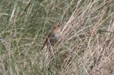 130519 IMG_6197 -b- Nelson or Saltmarsh.jpg