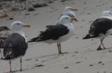 Great Black-backed Gull with yellow legs - Duxbury Beach - August 18, 2013
