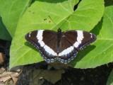 White Admiral (Limenitis arthemis)