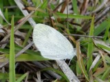 Probable Barred Yellow Butterfly