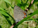 Acadian Hairstreak (Satyrium acadicum)