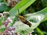Snowberry Clearwing (Hemaris diffinis) Hodges #7855