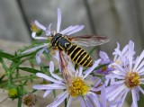 Eastern Hornet Fly (Spilomyia longicornis)
