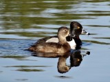 Diving Ducks, Loons, and Cormorants