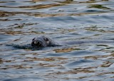 Gray Seal breaking the water
