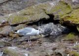 Herring Gulls (Adult and chick)
