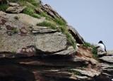 Razorbill and Rock Formation