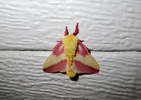 Rosy Maple Moth (Dryocampa rubicunda) Hodges #7715