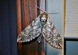 Waved Sphinx (Ceratomia undulosa) Hodges #7787