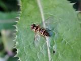 Oblique Stripetail (Allograpta obliqua)