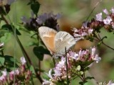 Common Ringlet (Coenonympha tullia)