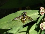 Oblique-banded Pond Fly (Sericomyia chrysotoxoides)