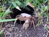 Crab sp.