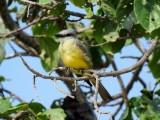 Kingbird sp. (Possible Couch's Kingbird)