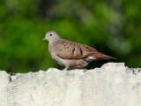 Ruddy Ground Dove (female)