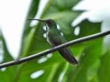 Green-breasted Mango (female)