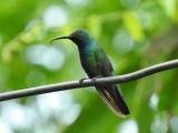 Green-breasted Mango (male)