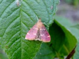 Raspberry Pyrausta Moth (Pyrausta signatalis) Hodges #5034