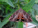 Ilia Underwing (Catocala ilia) Hodges #8801