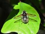 Narrow-banded Pond Fly (Sericomyia militaris)