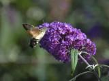 2014: Hummingbird Hawkmoth