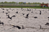 Zwarte vissers, Phalacrocorax carbo