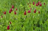 Inkarnaatklaver, Trifolium incarnatum