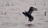Aalscholvers-Cormorants