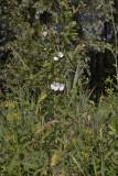 Harig wilgenroosje wit, Epilobium hirsutum