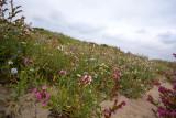 Duinflora, Anchusa officinalis (ossentong) in verschillende  kleuren