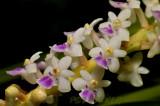 Smitinandia micrantha, close, flowers 5mm