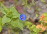 Blauw guigelheil