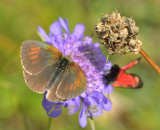 Glanserebia, Erebia tyndarus