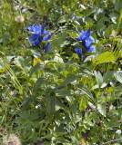Zijdeplantgentiaan, Gentiana asclepiadea