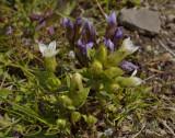 Veldgentiaan wit, Gentiana campestris var. alba