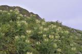 D. vederdistel, Cirsium spinosissimum