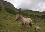 Bergpaarden