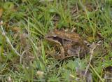 Oostelijke bruine kikker