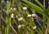 Ornithophora radicans