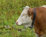 Koe met piercing