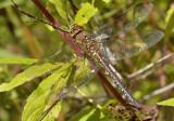 Aeshna mixta, female