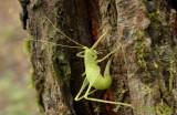 Ei-afzettende Zuidelijke boomsprinkhaan op veldiep