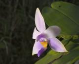 Phalaenopsis violacea coerulea
