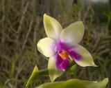 Phalaenopsis violacea var. Borneo