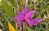 Dendrobium sulawesii